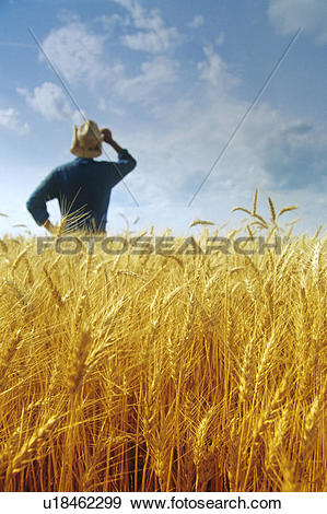 Stock Photograph of Closeup of harvest ready winter wheat with.