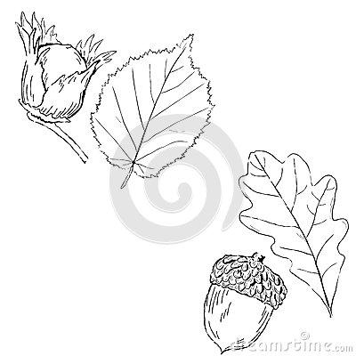 Hazelnut Branch Stock Illustrations.
