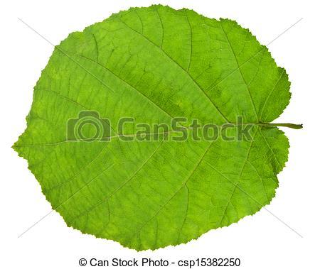 Stock Bilder von grün, Haselnuß, blatt, baum.