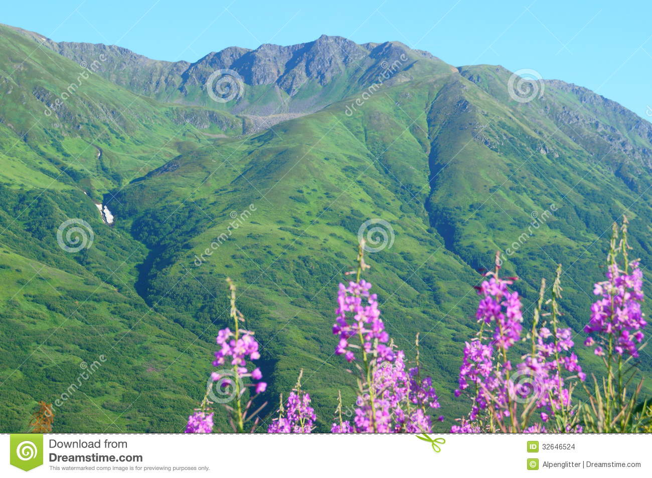 Fireweed Hatcher Pass Stock Images.