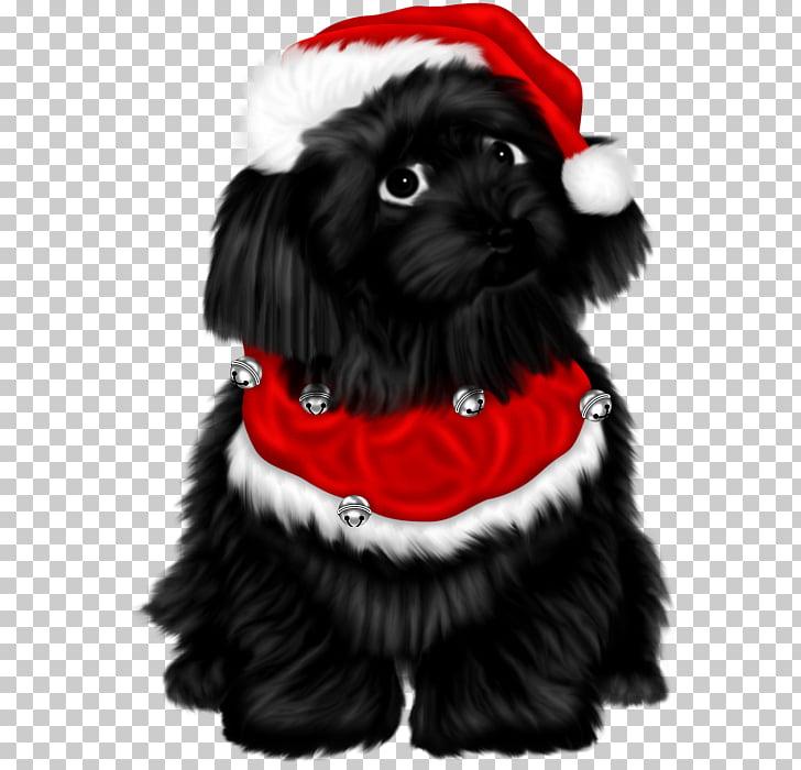 Schnoodle Shih Tzu Affenpinscher Havanese dog Puppy, puppy.