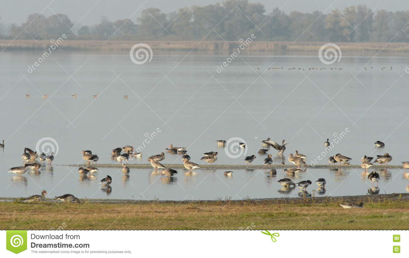 Wild Geese Landing On The Lake At Havelland (Germany) Stock Video.