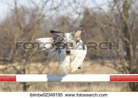 "Stock Image of ""Mongrel jumping over a barrier, Doeberitzer Heide."