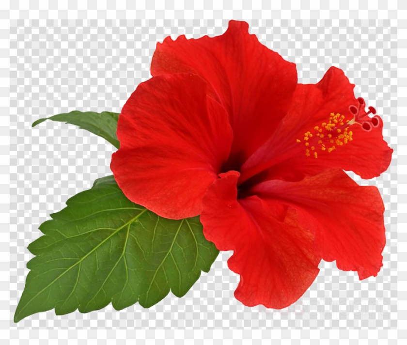 Hibiscus Flower Png Clipart Shoeblackplant Flower Hibiscus.
