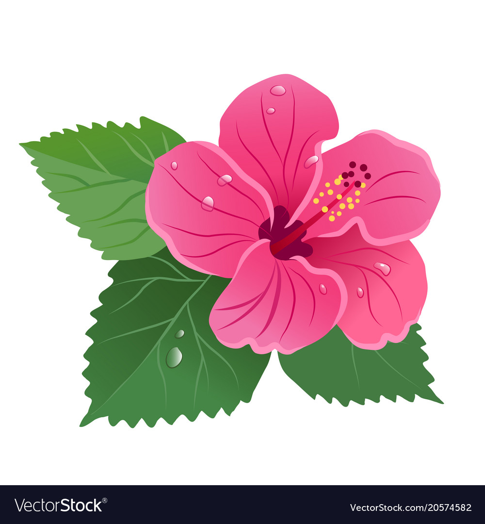 Hibiscus flower bloom with green leaves dew drops.