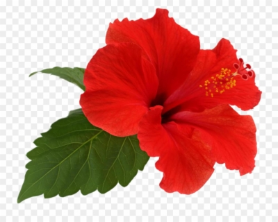 hawaiian flowers png.