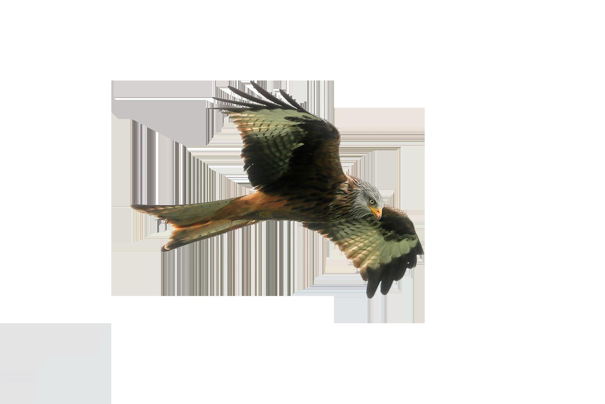 Hawk PNG Image.