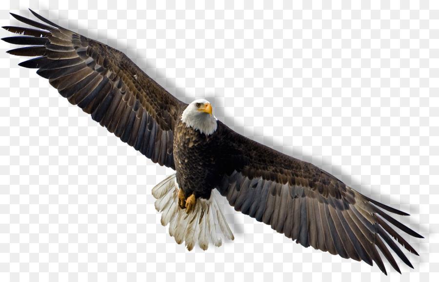 Download Free png Bald Eagle Flight Clip art Hawk png download 1067.