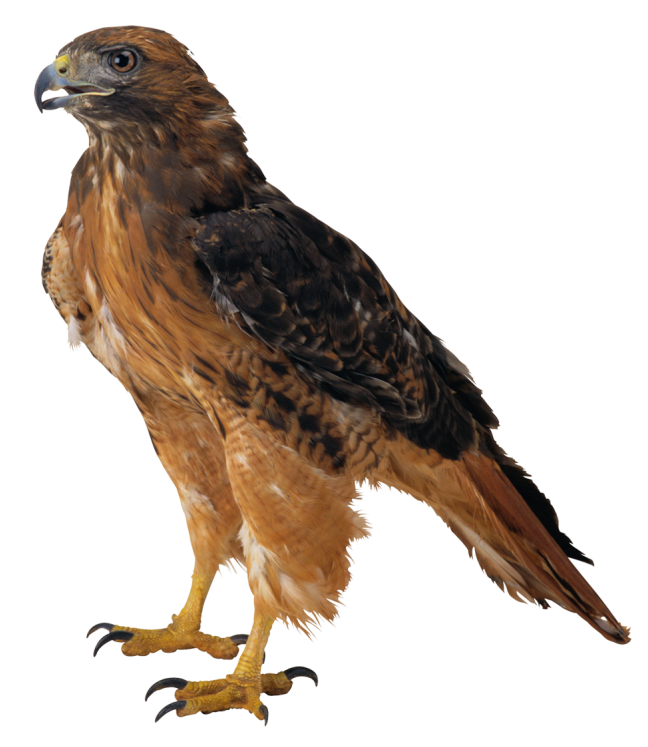 Hawk PNG Picture.
