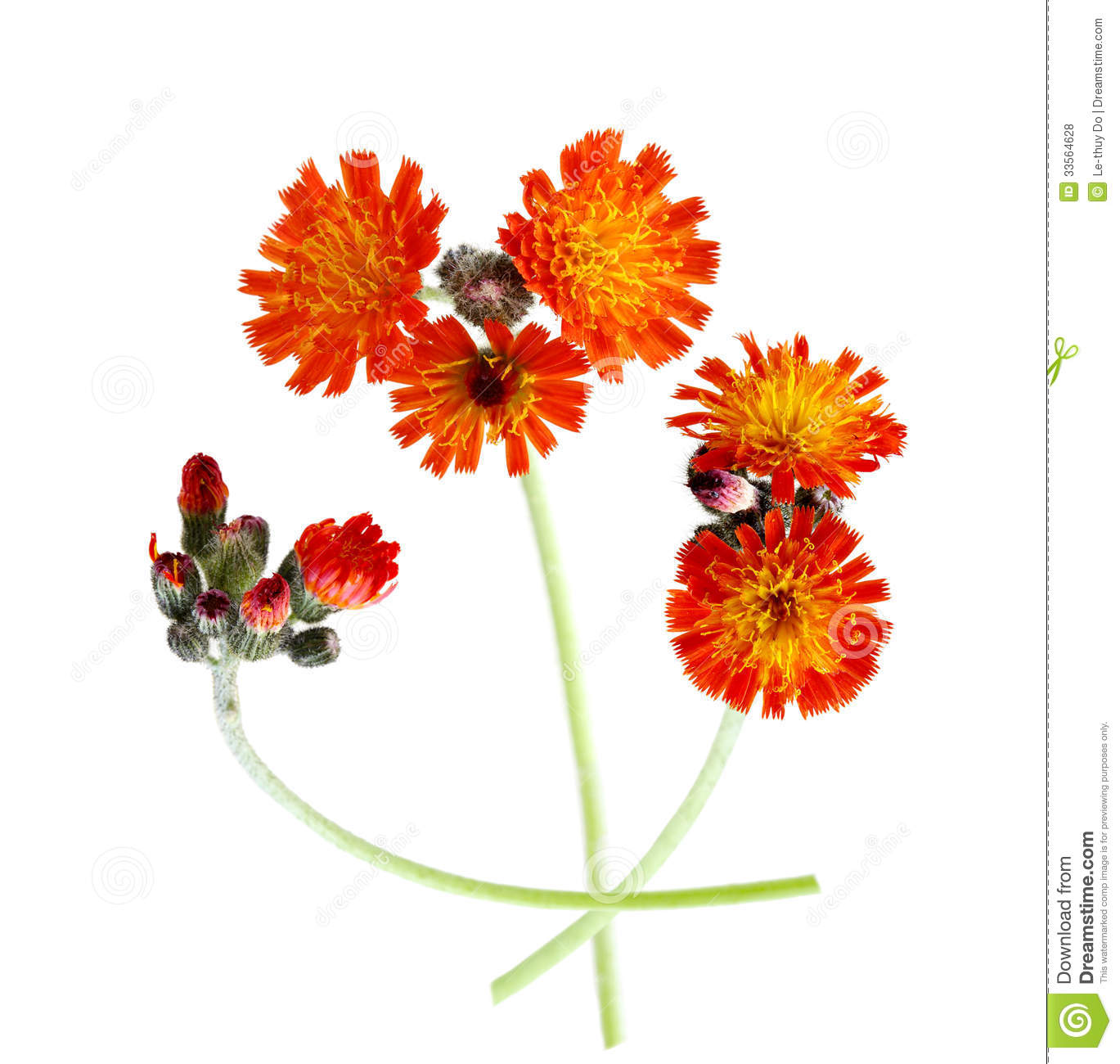 Orange Hawkweed Royalty Free Stock Photos.