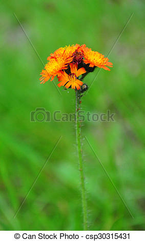 Stock Photos of Orange hawkweed (Hieracium aurantiacum.