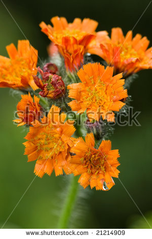 Orange Hawkweed Stock Photos, Royalty.