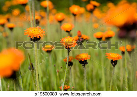 Stock Photography of Orange Hawkweed, (Hieracium aurantiacum.
