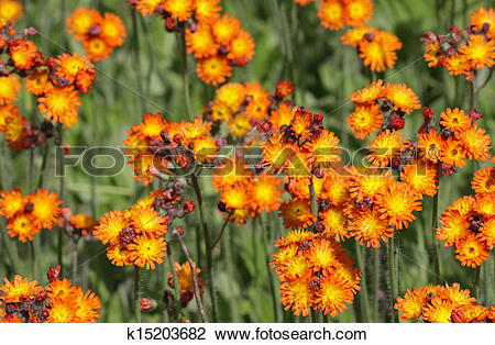 Stock Photo of Orangae Hawkweed k15203682.