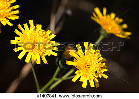 Stock Photography of Hawkweed Yellow Flower k1407841.