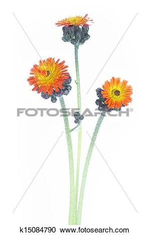 Stock Photography of Pilosella aurantiaca or Orange Hawkweed.