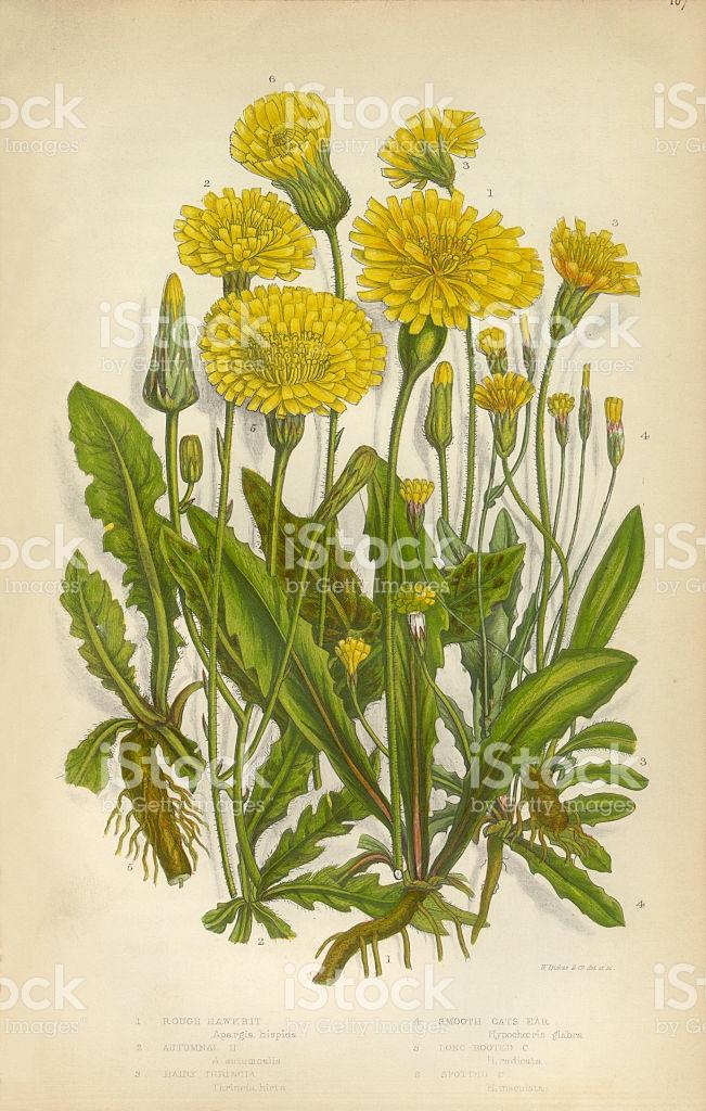 Sunflower Dandelion Hawkbit Thrincia Cats Ear Victorian Botanical.
