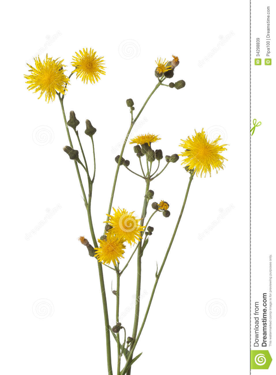 Autumn Hawkbit Flowers Royalty Free Stock Images.