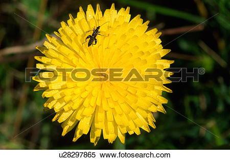 Stock Image of Autumn hawkbit flower u28297865.