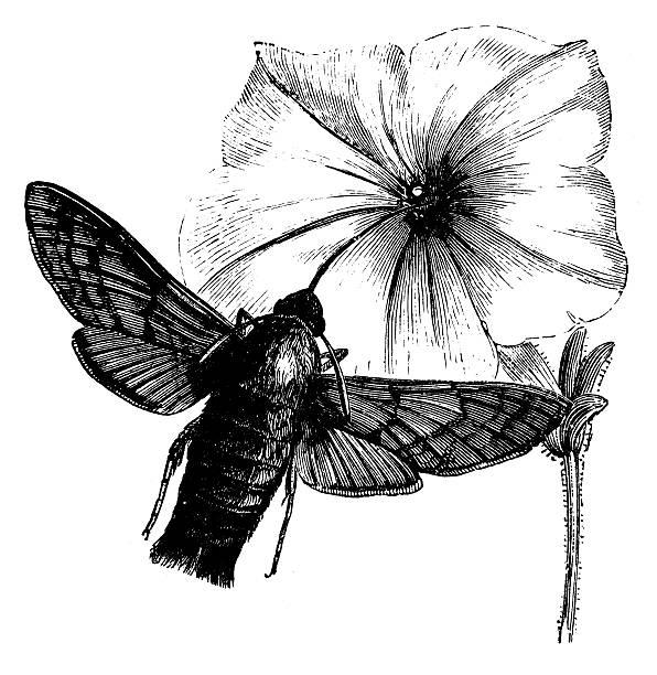 Hummingbird Hawk Moth Clip Art, Vector Images & Illustrations.