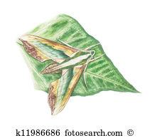 Hawk moth Stock Illustration Images. 9 hawk moth illustrations.