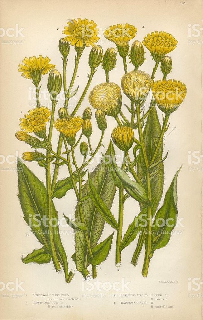 Dandelion Crepis Hawksbeard Hawksweed Borkshausia Victorian.