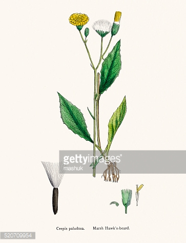 Alfalfa Lucerne Medick Plant 19th Century Illustration Stock.