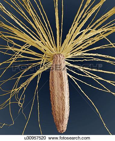Stock Photography of Smooth hawksbeard seed, SEM u30957520.