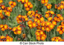 Stock Images of Orange Hawkweed.