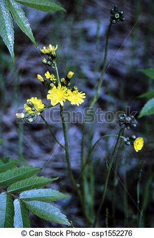 Stock Image of Yellow Hawkweed H3451.