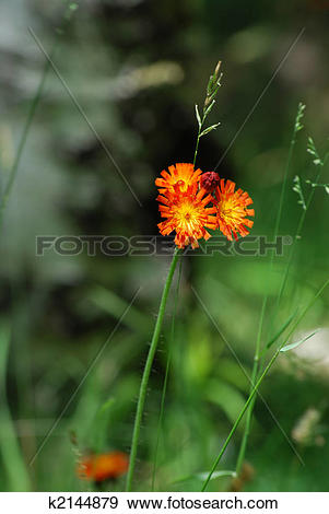 Stock Photograph of Orange Hawkweed Flower k2144879.