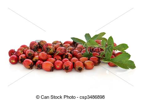 Pictures of Hawthorn Berries.