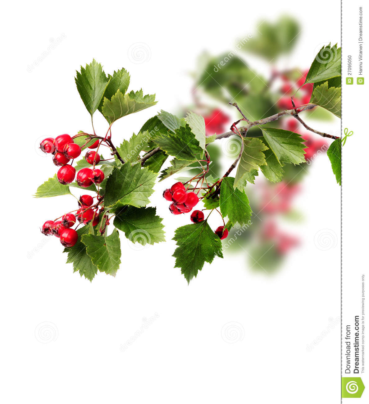 Green Hawthorn Branch Red Berries Stock Photo.