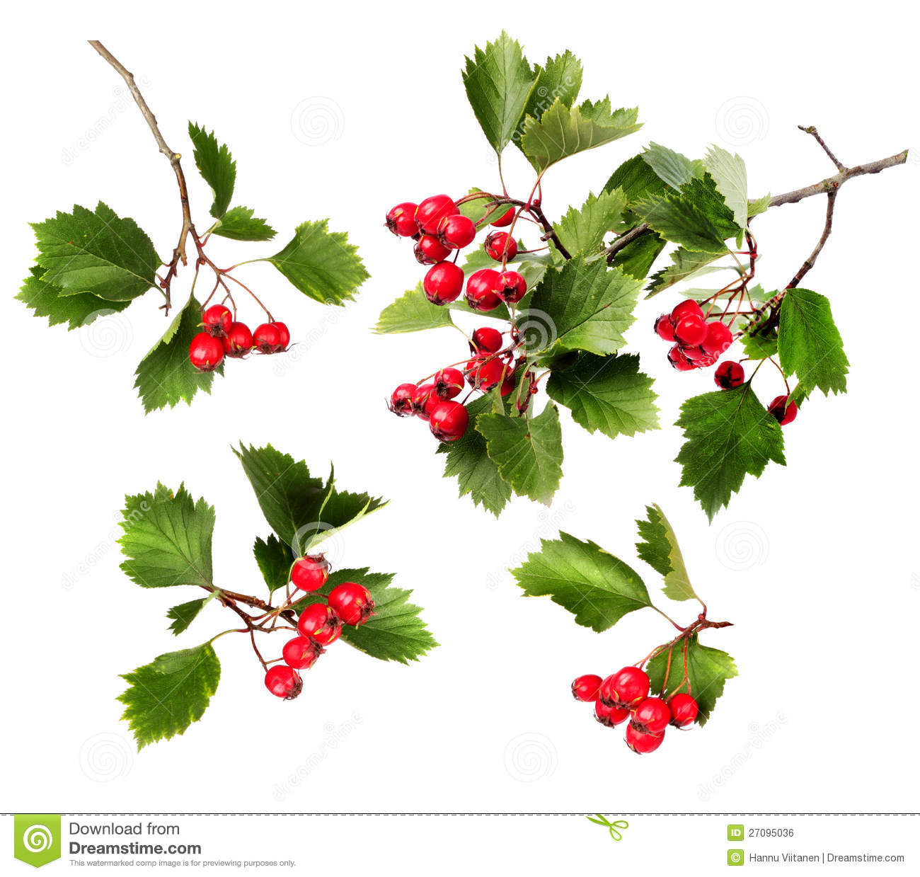 Red Hawthorn Berries On A Branch Stock Photo.