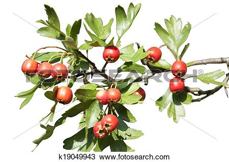 Stock Photo of Isolated Hawthorn Berries k19049943.