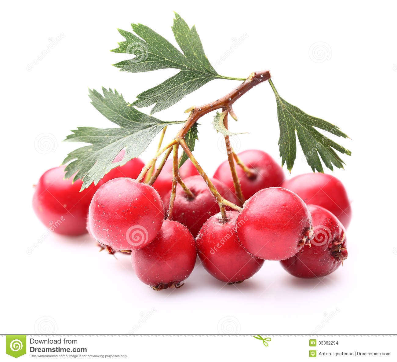 Hawthorn Berry Stock Images.