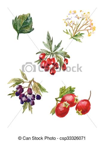 Vectors Illustration of vector watercolor set of rosehips and.