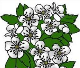 Free Hawthorn Blossom Clipart.