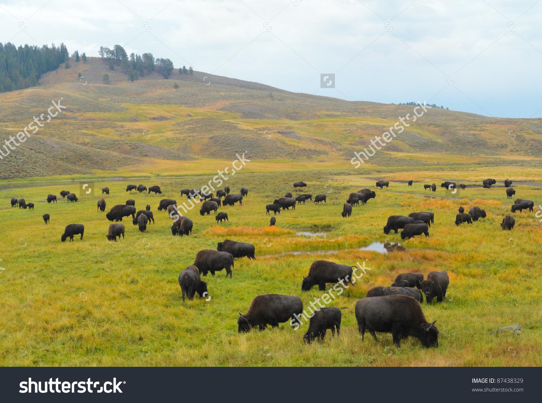 Bison Hayden Valley Yellowstone National Park Stock Photo 87438329.