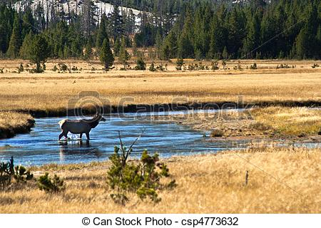 Stock Photo of Yellowstone National Park: Wapiti Deer at Hayden.