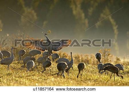 Stock Photo of Sandhill crane (Grus canadensis) Migratory flock.