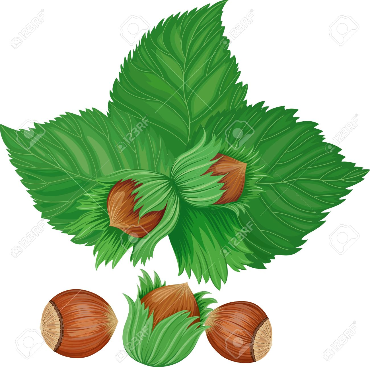 Hazelnuts Isolated Over White Background Royalty Free Cliparts.
