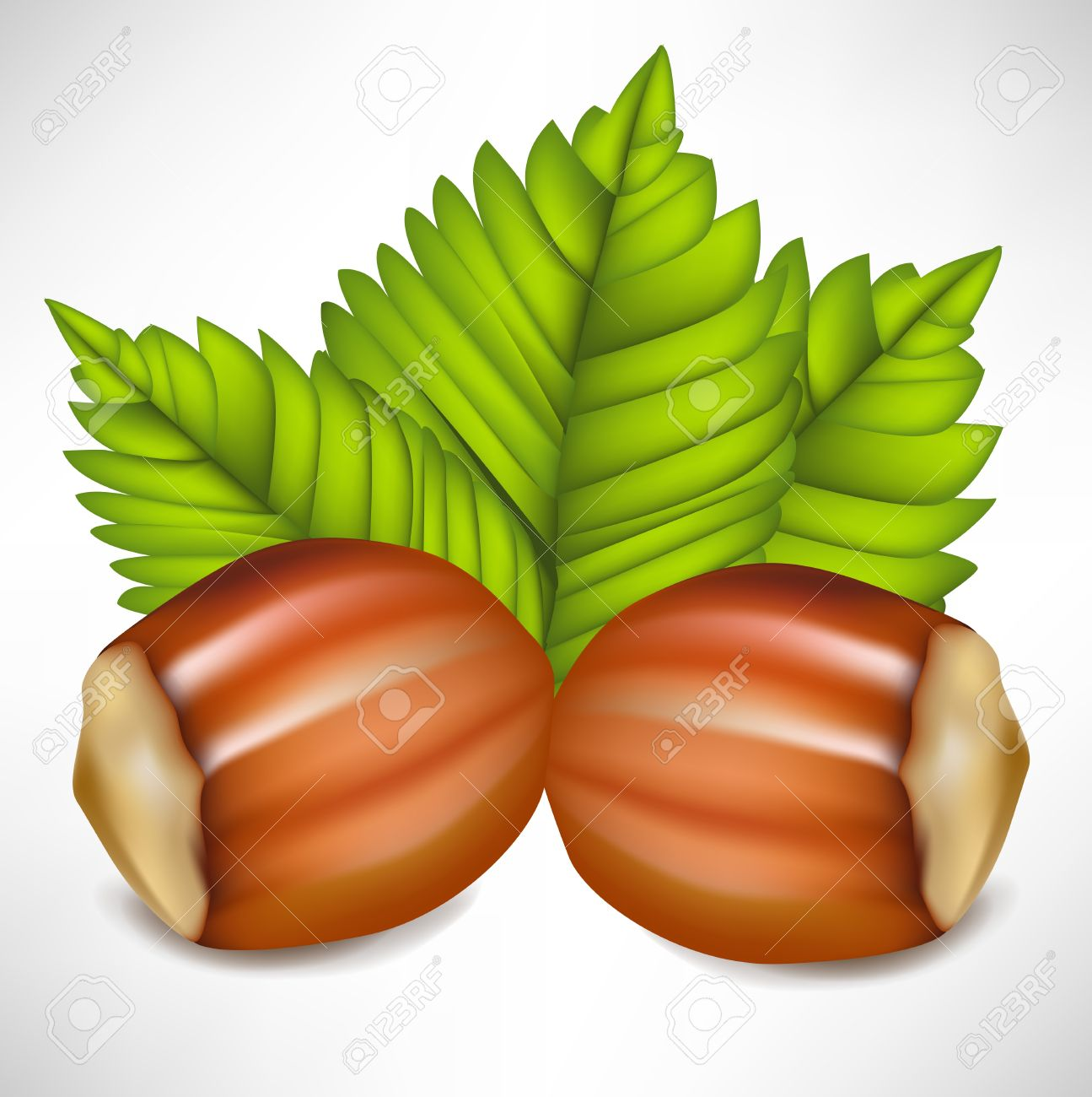 Two Hazelnuts In Shell Arrangement Royalty Free Cliparts, Vectors.