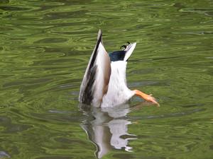 Ducks Photo Clipart Image.