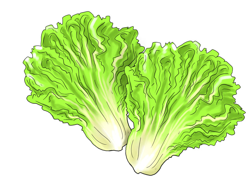 Head of lettuce clipart.