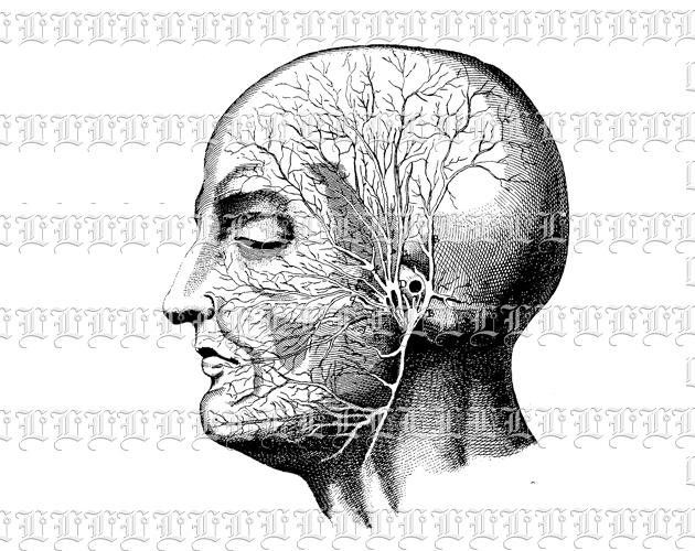 Anatomy Study Human Head Profile Vintage Clip Art Illustration.