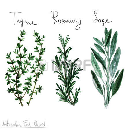 1,468 Sage Cliparts, Stock Vector And Royalty Free Sage Illustrations.
