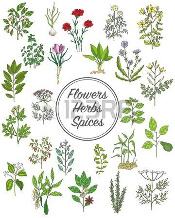 628 Sage Plant Stock Vector Illustration And Royalty Free Sage.