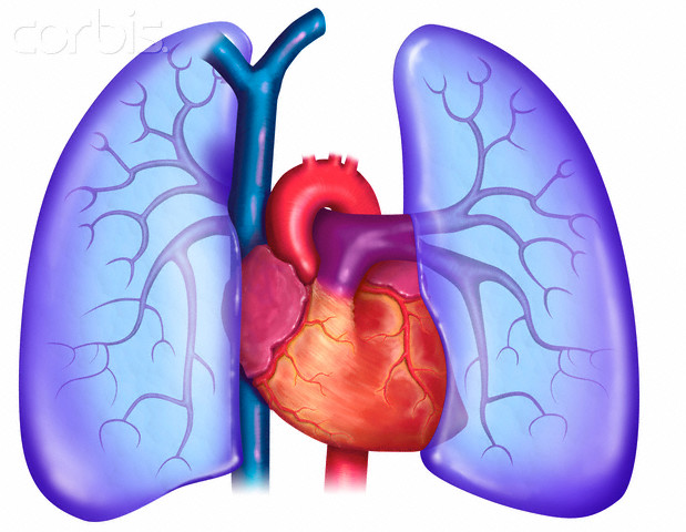Lungs And Heart Clipart.