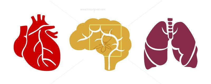 Human internal organs brain,lungs,heart.